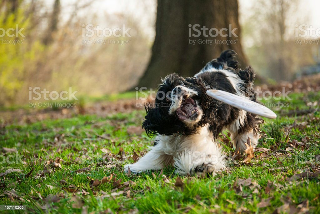 Cocker Spaniel Dog Catching a Frisbee in Park with Grass stock photo