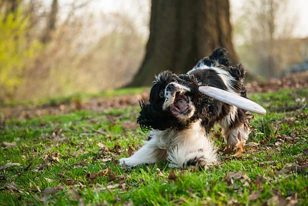 cocker spaniel hund fangen ein frisbee mit gras im park - amerikanischer cocker spaniel stock-fotos und bilder