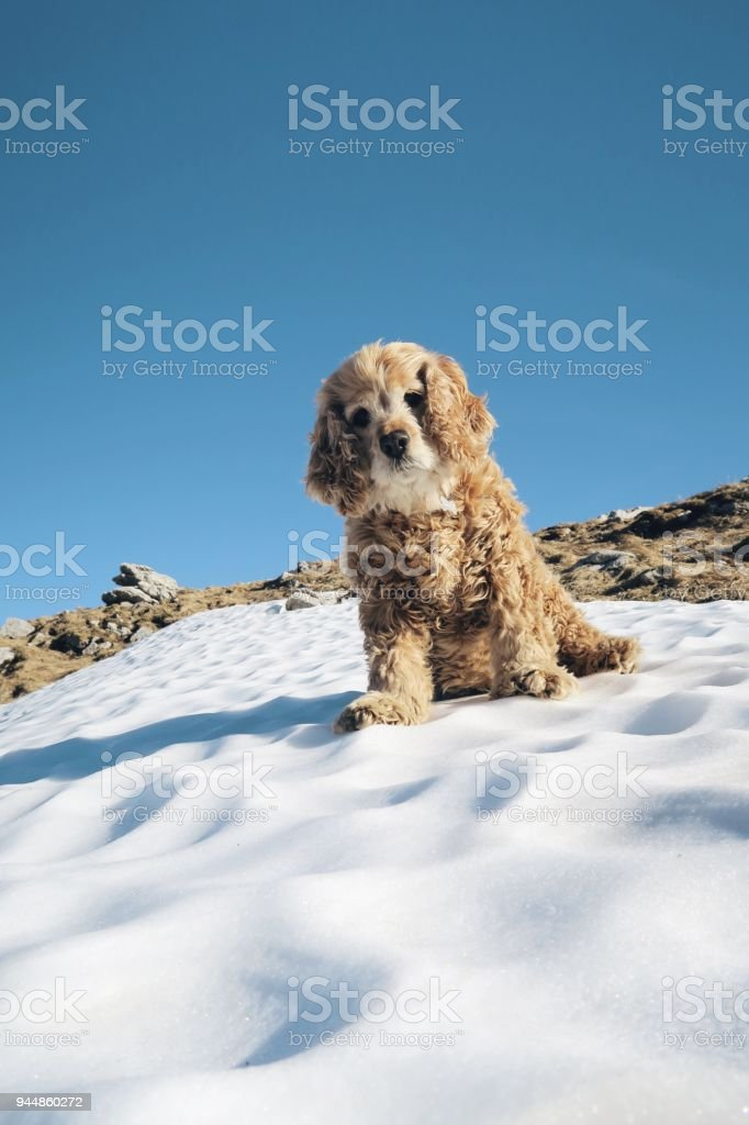 Cocker spaniel dog enjoying snow and sun / mountains
