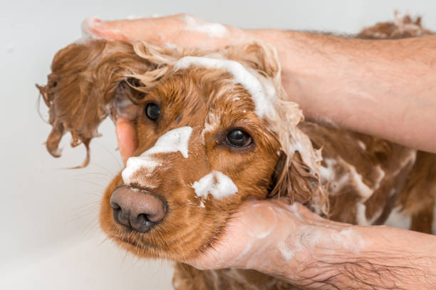 Cocker spaniel dog taking a shower with shampoo and water English cocker spaniel dog taking a shower with shampoo, soap and water in a bathtub taking a bath stock pictures, royalty-free photos & images