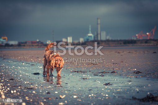 A Cocker Spaniel dog wearing harness walking on beach with low level sunlight and industrial background and selective focus
