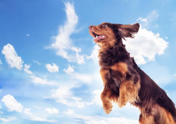 Cocker Spaniel fliegt nach oben – Foto