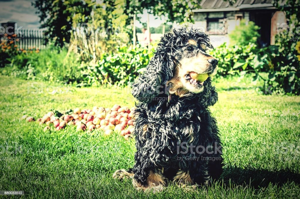 A cocker spaniel helps with apple picking stock photo