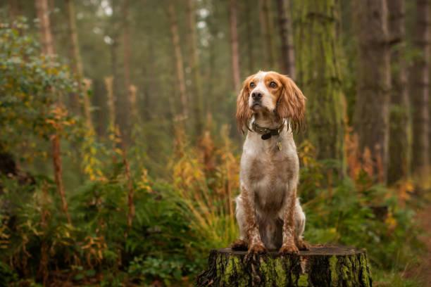 cocker spaniel in woodland - dressierter hund stock-fotos und bilder