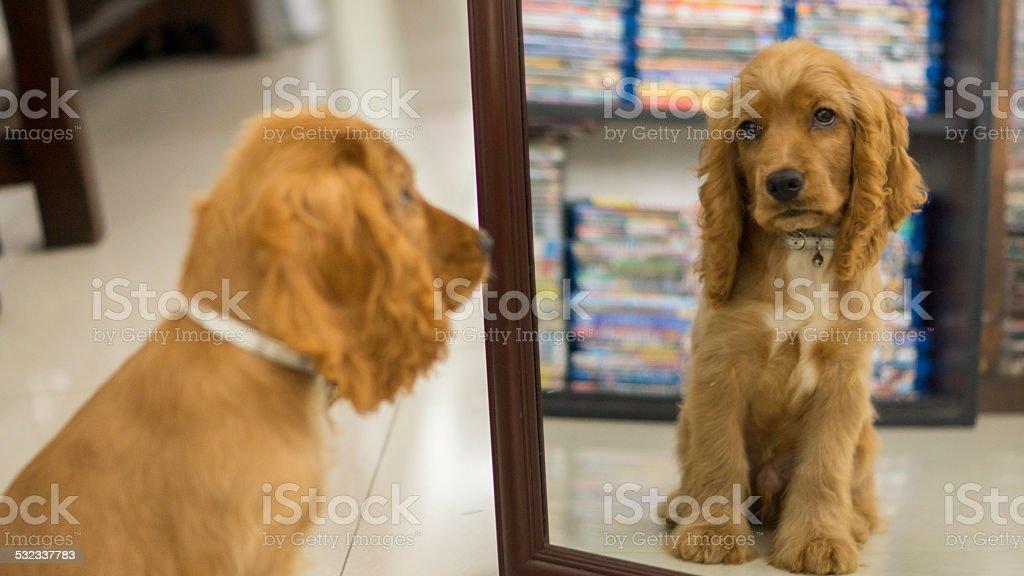 Cocker Spaniel Ingles mirandose en el Espejo stock photo