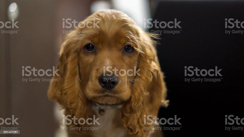 Cocker Spaniel Ingles stock photo