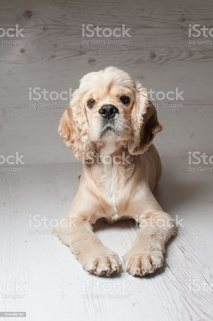 Cocker spaniel lying on light background. stock photo