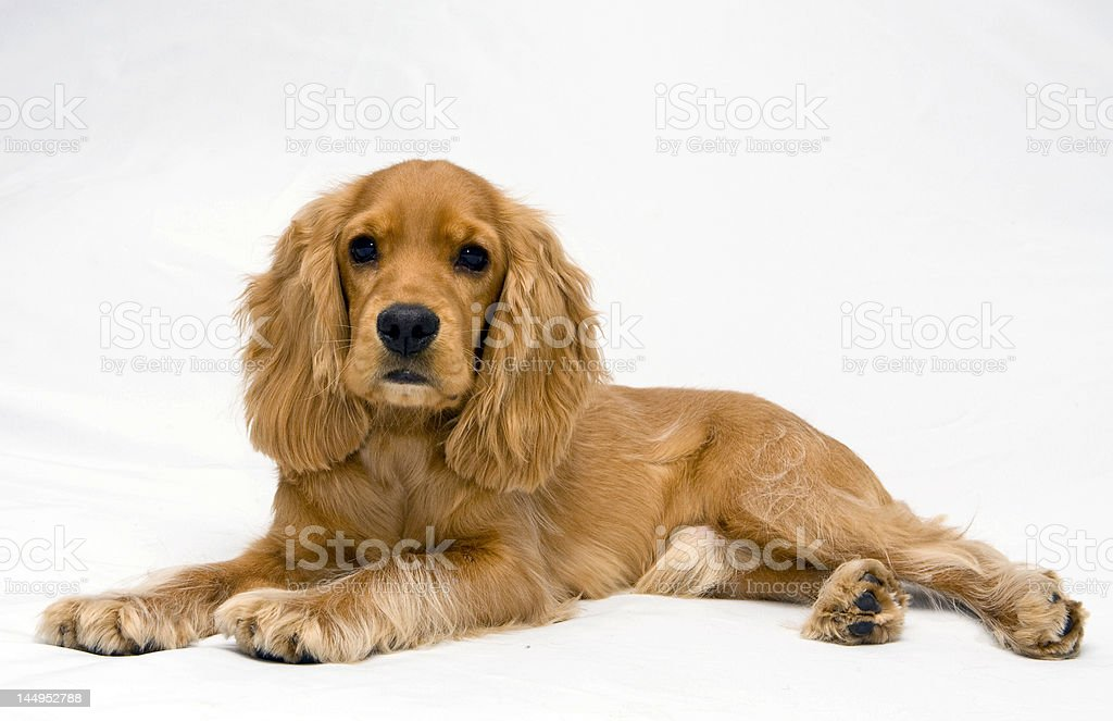 A cocker spaniel lying on the floor with its head raised stock photo