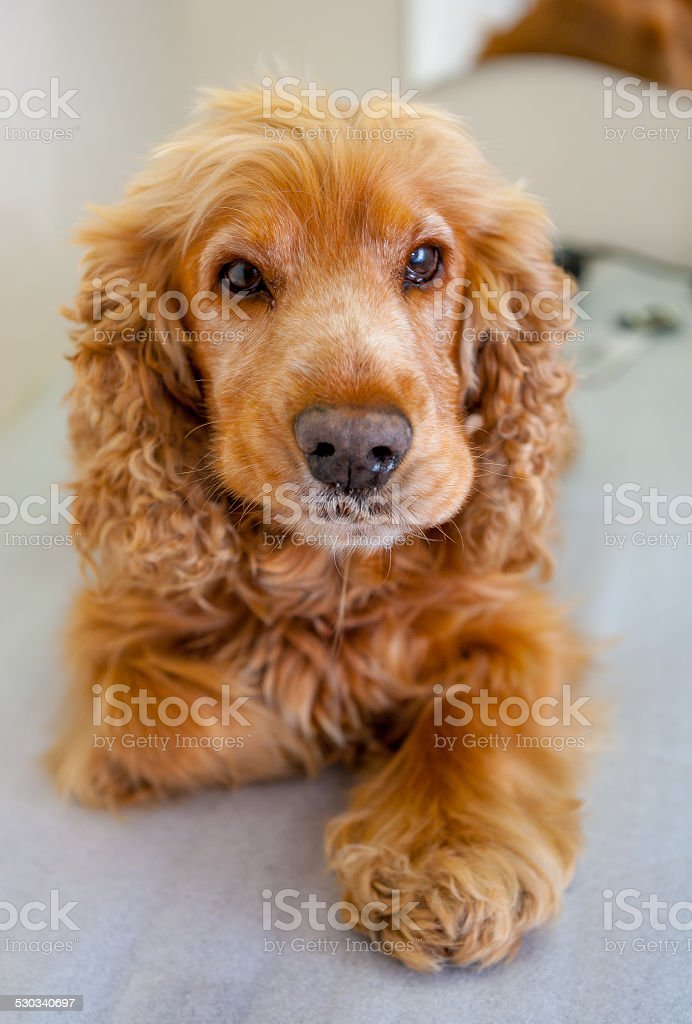 Cocker Spaniel stock photo