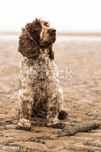 Cocker Spaniel dog at Cambersands