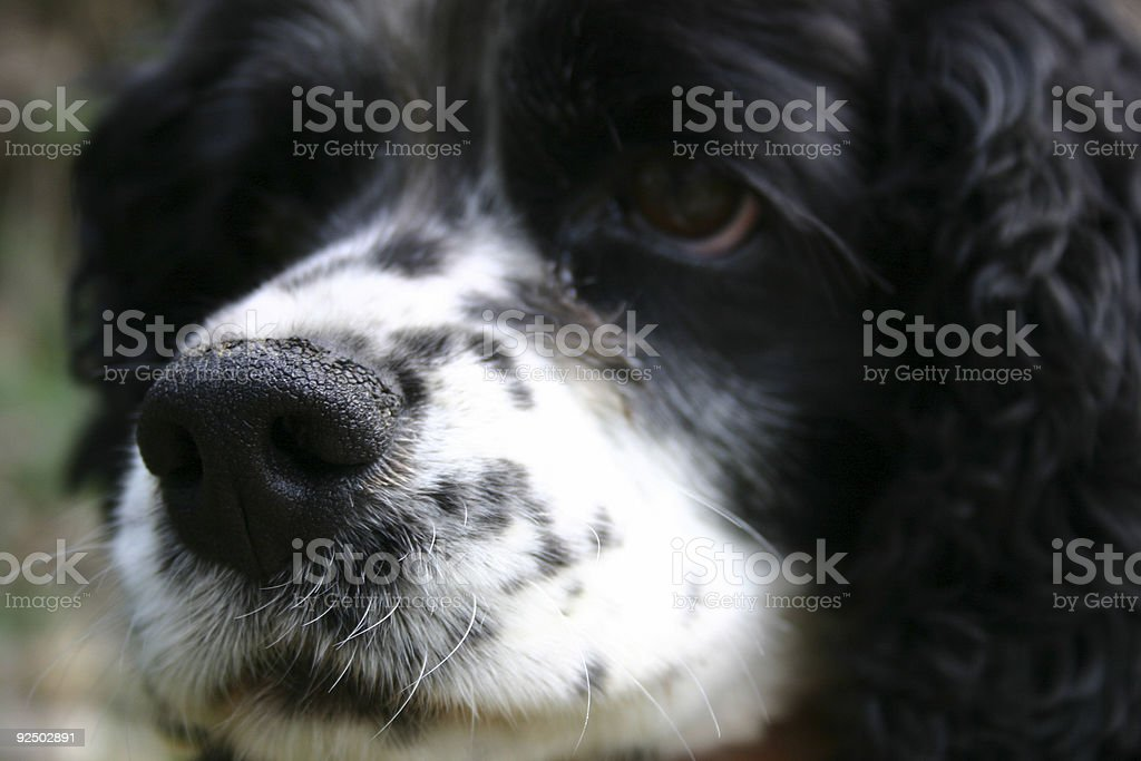 Cocker Spaniel royalty-free stock photo