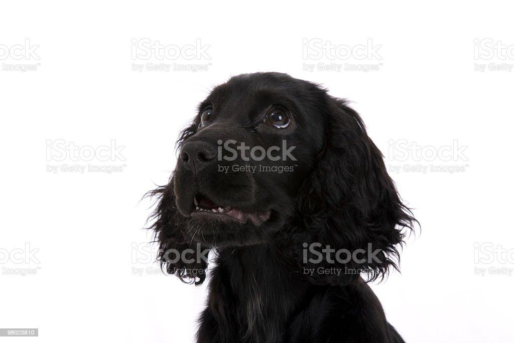 cocker spaniel royalty-free stock photo