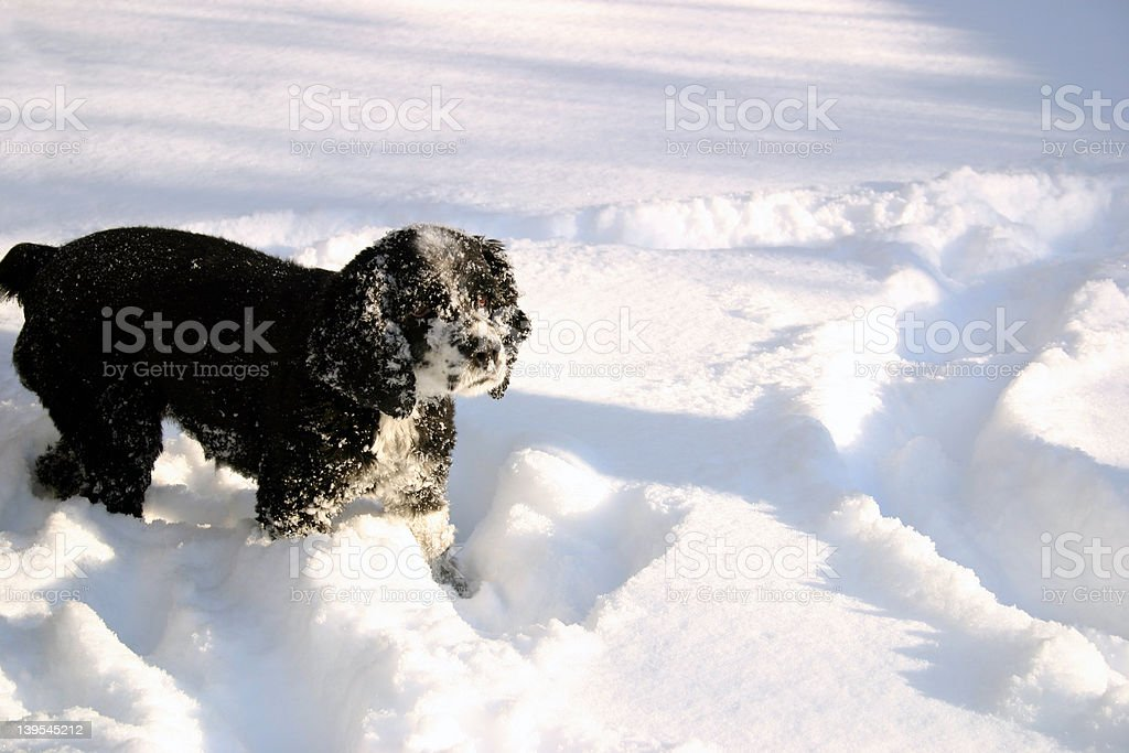 Cocker Spaniel Playing in the Snow royalty-free stock photo
