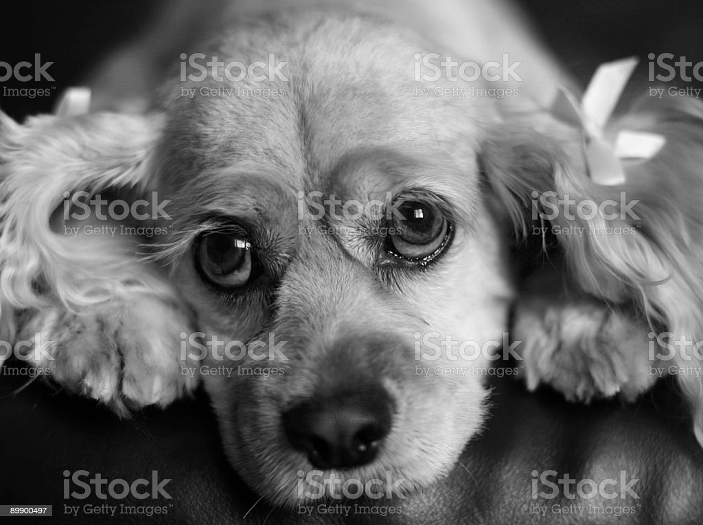Cocker spaniel portrait in black and white royalty-free stock photo