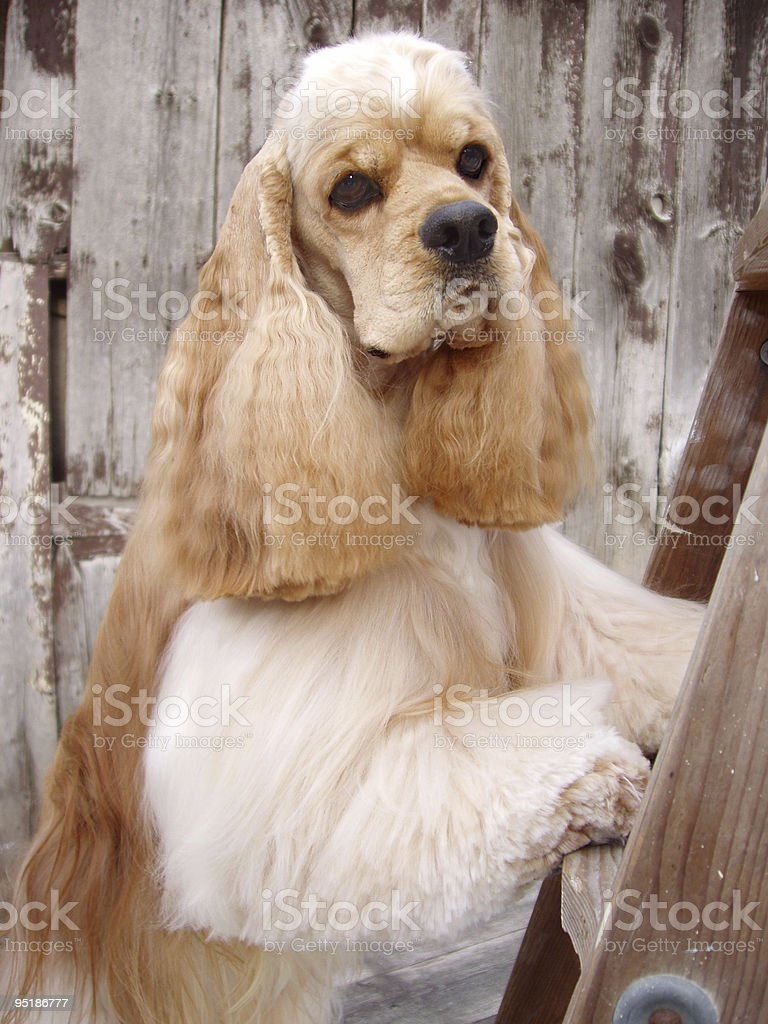 cocker spaniel portrait stock photo