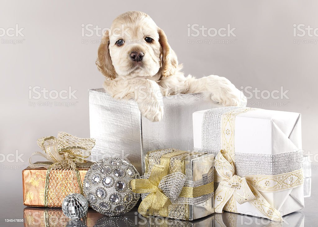 Cocker Spaniel puppy and gifts stock photo