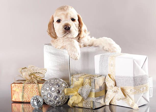 cocker spaniel hund und geschenke - amerikanischer cocker spaniel stock-fotos und bilder