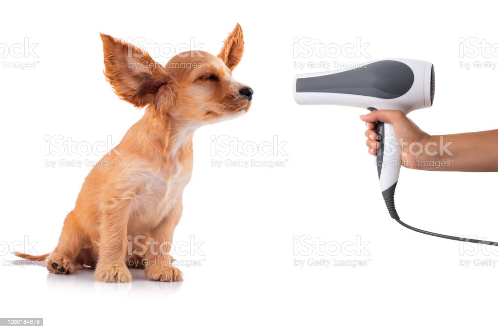 Cocker Spaniel Puppy getting his fur dried with a blower, isolated on white. stock photo
