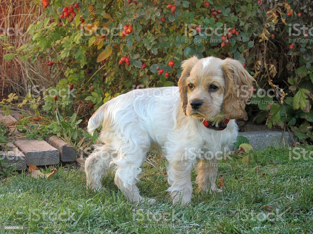 Cocker Spaniel Puppy Pausing stock photo