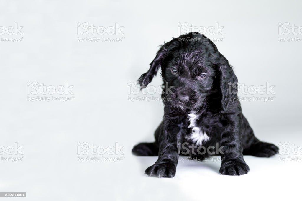 Cocker Spaniel Puppy Stock Photo Download Image Now Istock