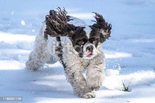 A family pet Cocker Spaniel runs in the snow