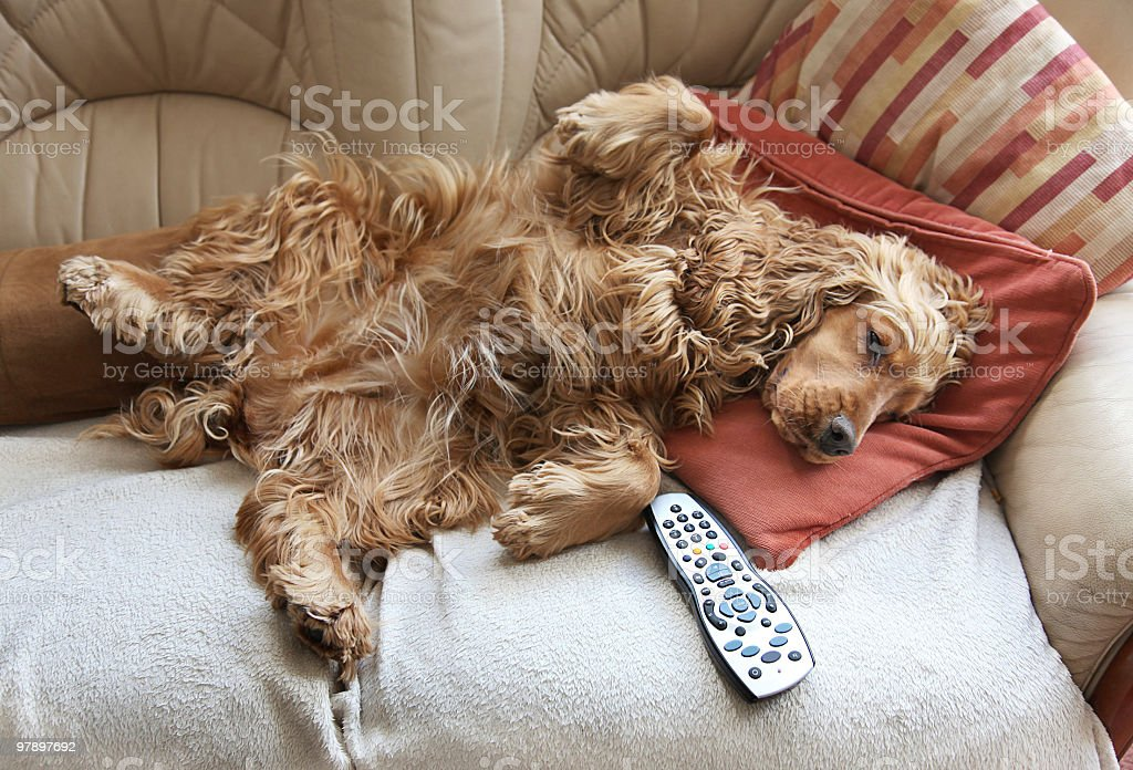 Cocker Spaniel relaxing in front of TV stock photo