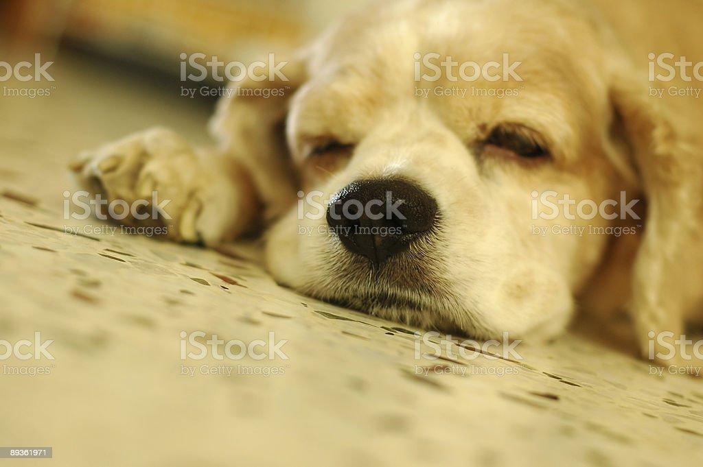 Cocker Spaniel dormire foto stock royalty-free