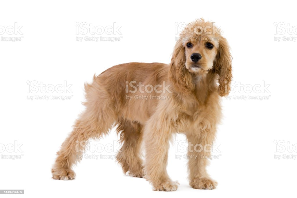 Cocker spaniel standing against white background stock photo