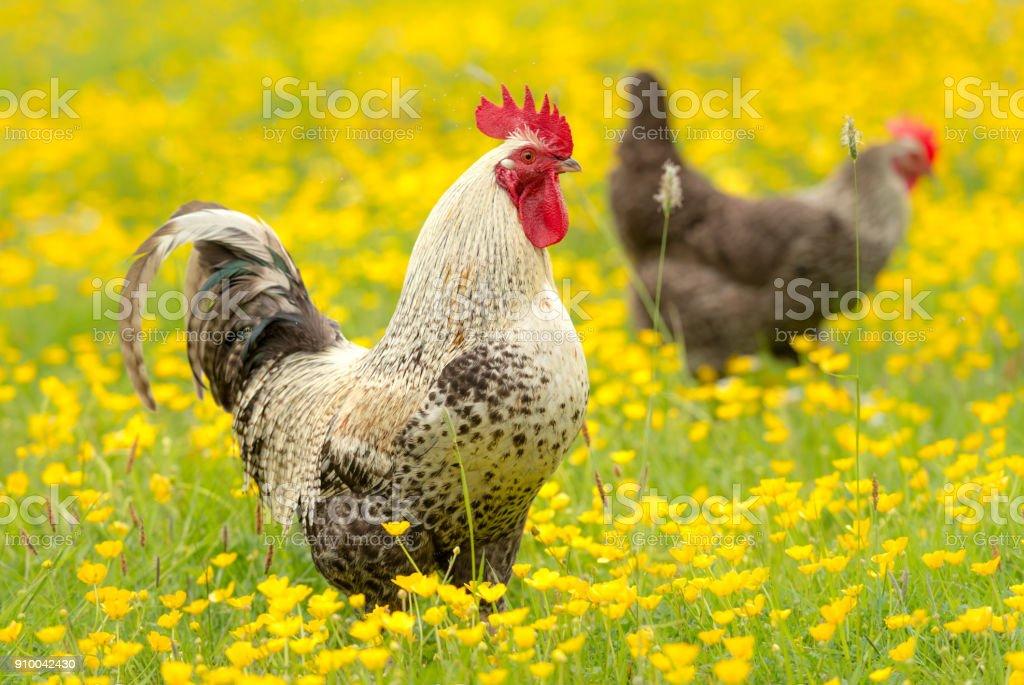 Cockerel and hen outdoors among buttercups stock photo