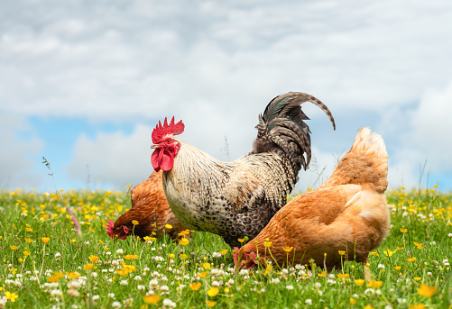 A free range cockerel and hens together in a summer meadow with clover and buttercups among the grass.