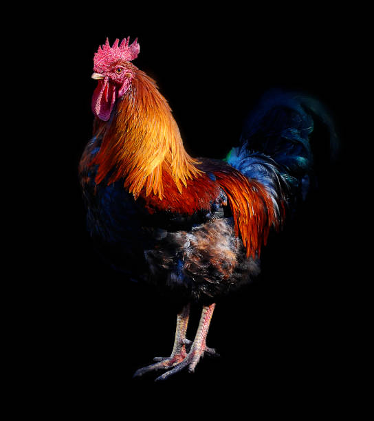 Royalty Free Beautiful Cock Pictures Pictures, Images and