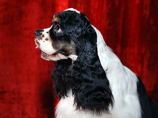 Cocker-Spaniel WB 13 stock photo