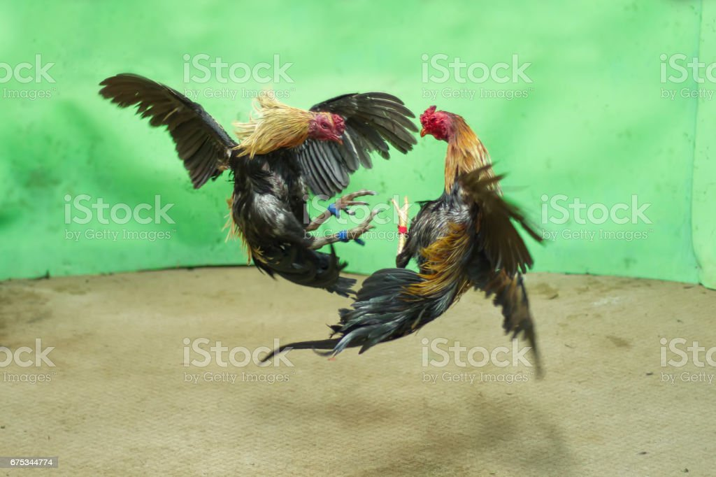 cock-fighting-history