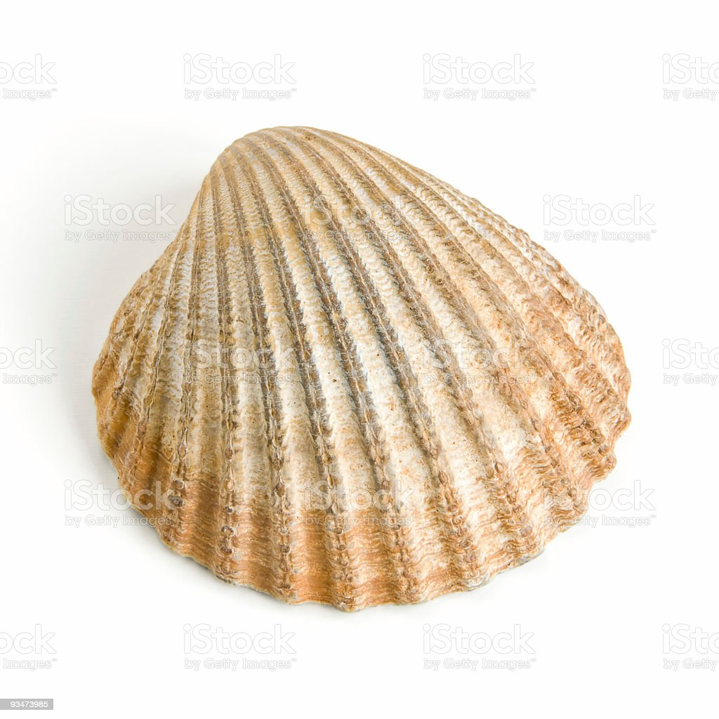 Cockle shell on white stock photo