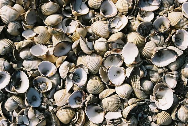 cockle shell-jacken 1 - jake*s stock-fotos und bilder