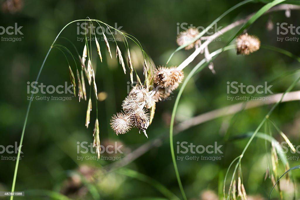 Cocklebur and Grass in the Forest stock photo