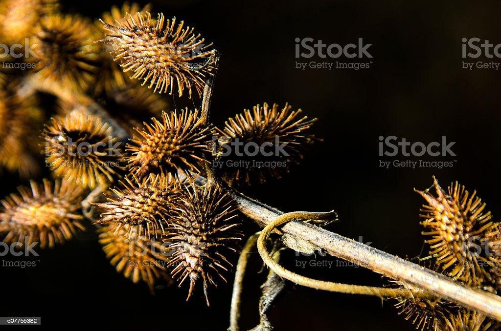 Cocklebur (Xanthium) plant stock photo