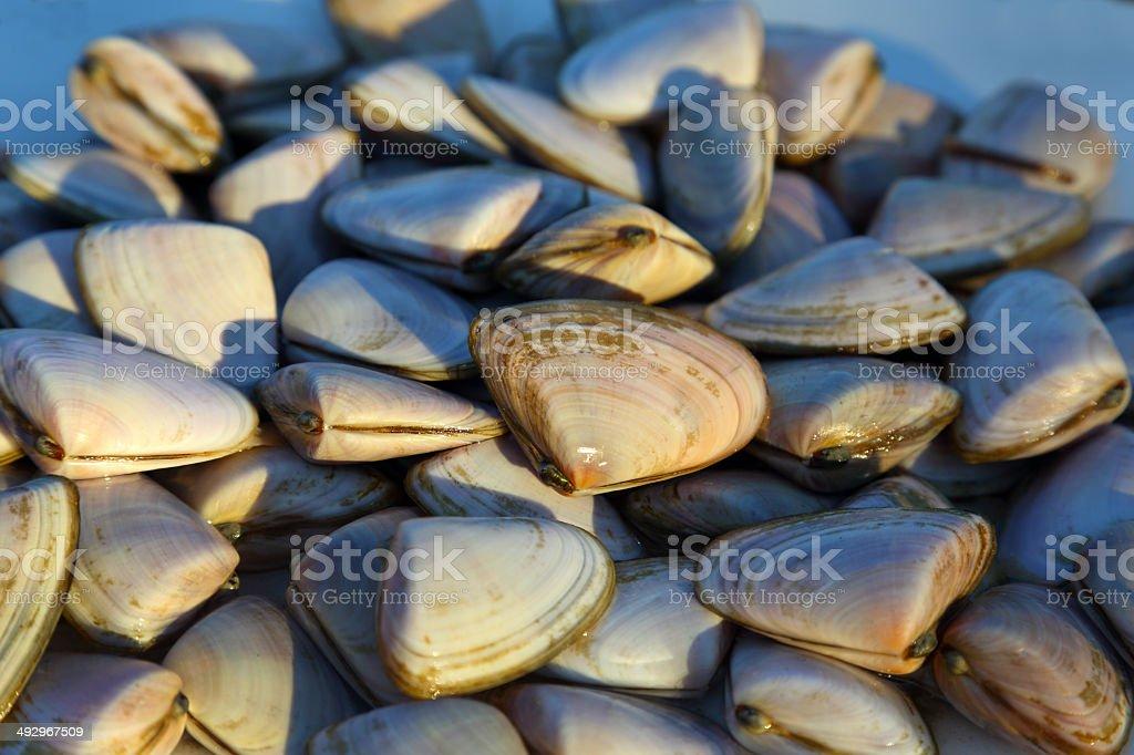 Cockles Shellfish stock photo