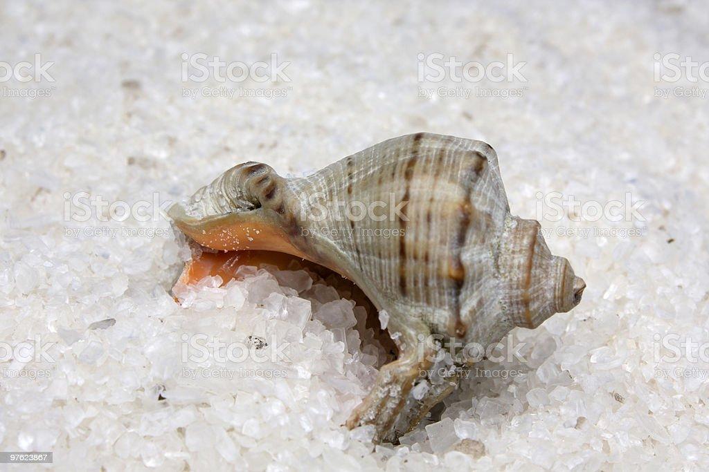 Cockleshell de sel photo libre de droits