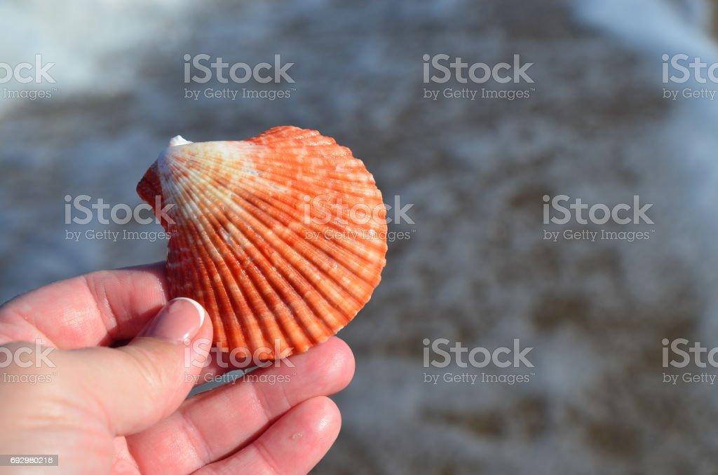 Cockleshells on the beach. stock photo