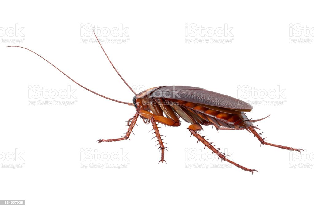 Cockroach bug insect small - foto stock