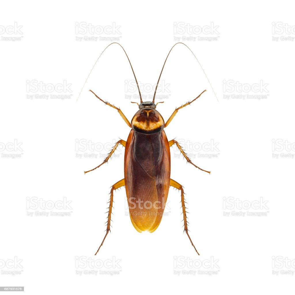 Cockroach isolated on a white background - foto stock