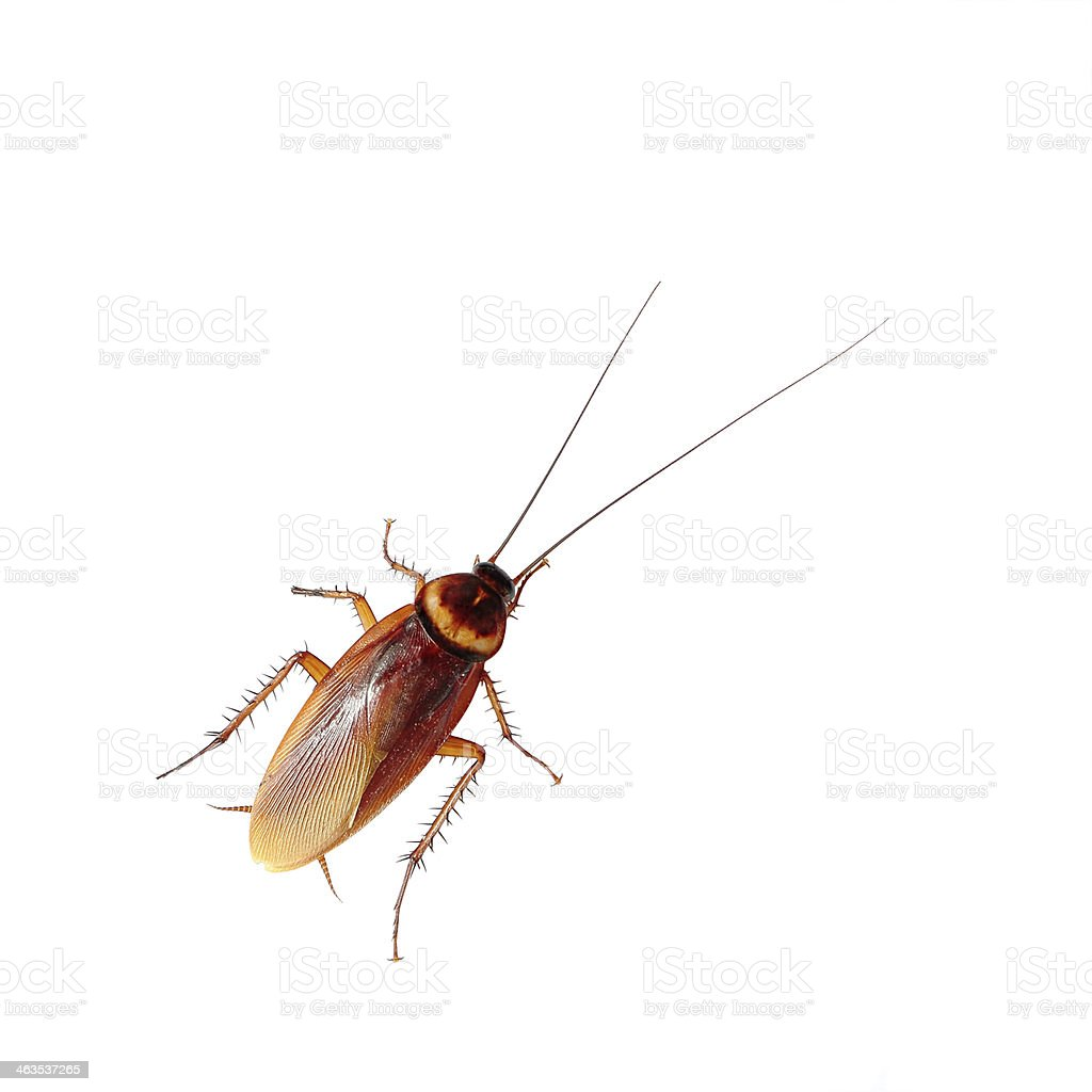 Cockroach isolated over white background stock photo