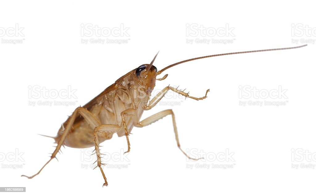 cockroach isolated royalty-free stock photo