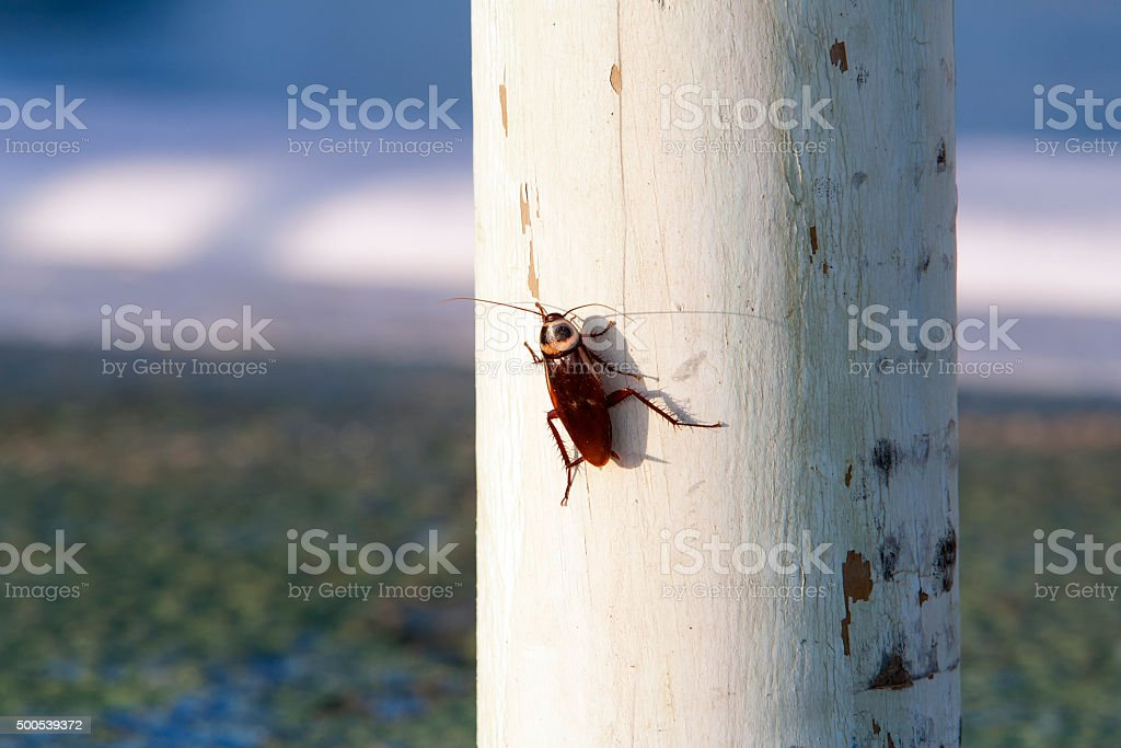 Cockroach on a white wooden pole​​​ foto