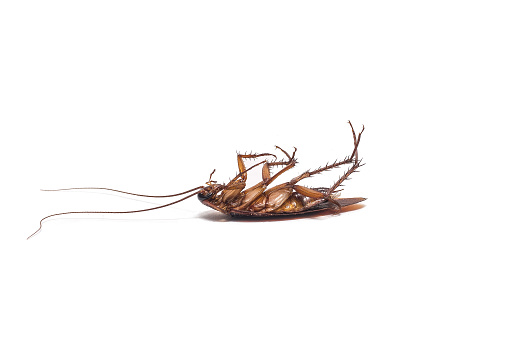 istock Cockroach on white background 513732604
