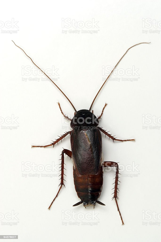 Cockroach on white background royalty-free stock photo