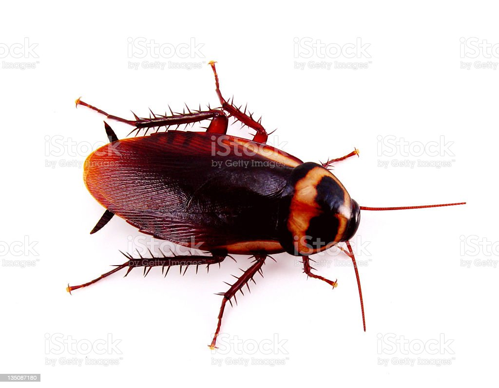 A cockroach over a white background royalty-free stock photo