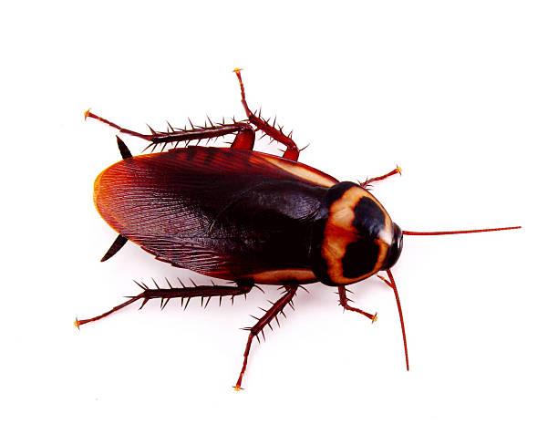 american roach - barata americana - fotografias e filmes do acervo