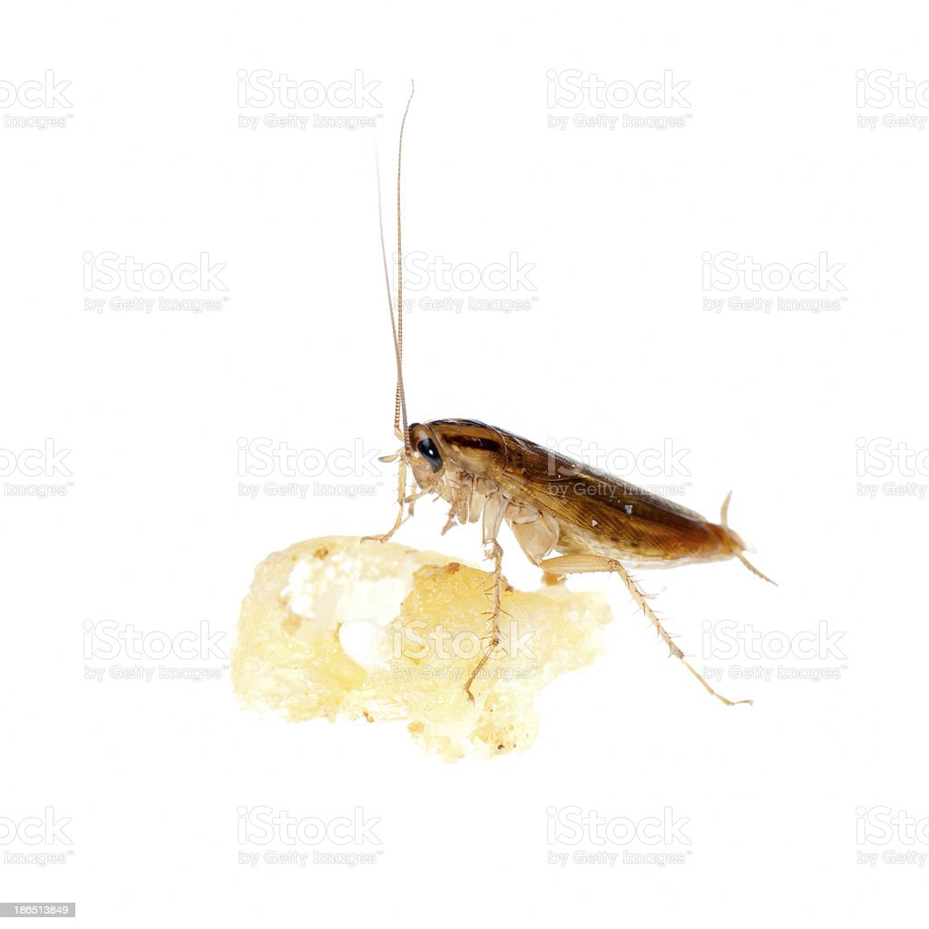 cockroach royalty-free stock photo